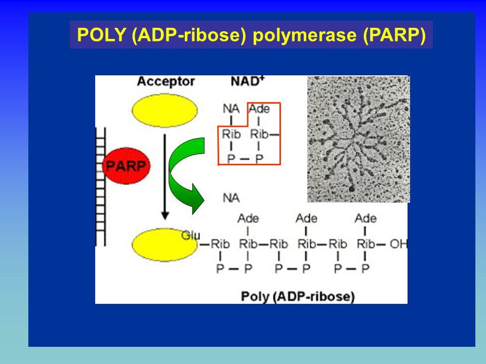 1. Nicotinamide 2. Adenine NAD and ADP-ribose Nicotinamide