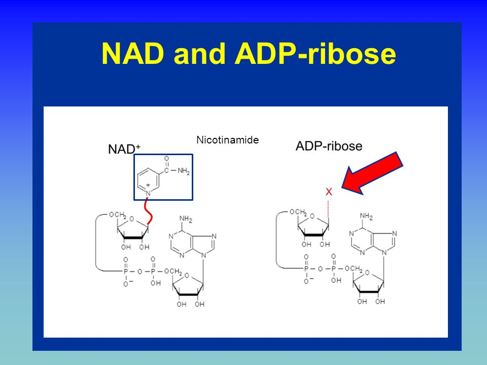 Binding of NAD + to PARP to PARP Nicotinamide leaves Capture by oxigen from Glu and Lys of acceptor proteins PARP NAD+ Linkage in linear pADPr Linkage at branch point Acceptor protein