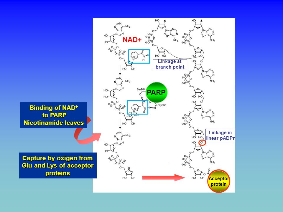 PARP AND REPAIR OF N-METHYLATED PURINES AND SINGLE STRAND BREAKS BY BASE EXCISION REPAIR (BER) PARP Short patch (1 nucleotide) Long patch (2-15 nucleotides) PARP XRCC1 PARP Removal of damaged base by glycosylase p24 Strand interruption by AP endonuclease End processing Ligation Gap filling INDIRECT SINGLE STRAND BREAK DIRECT SINGLE STRAND BREAK PARP binds to strand break IONIZING RADIATION METHYLATING AGENTS (N3-MethylAdenine, N7-MethylGuanine) PARP INHIBITION PARP INHIBITION PERSISTANCE OF STRAND BREAKS APOPTOSIS CELL GROWTH ARREST
