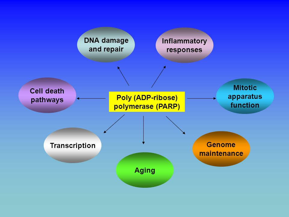 Chronic inflammation AP-1 HIF-1 PROLIFERATION OF INFLAMMATORY CELLS INDUCTION OF ANGIOGENESIS INCREASED ANGIOGENESIS INCREASED TUMOR GROWTH ACTIVATION OF PARP PARP INHIBITOR NF- B Tentor et al., Eur J Cancer.