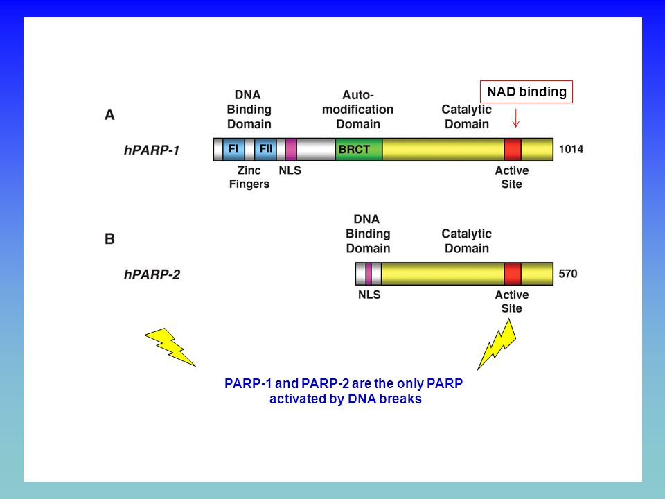 PARP INHIBITION BY NICOTINAMIDE ANALOGUES O NH 2 N Nicotinamide PARP inhibitor CATALYTIC DOMAIN O X H N N NAD + binding X PARP inhibitors and clinical trials
