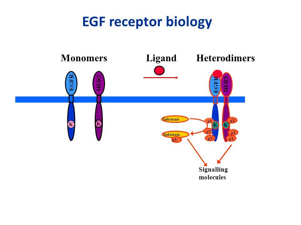 K EGFR K HER2 LigandMonomers Substrate Signalling molecules pY Substrate pY K K HER2 pY EGFR Heterodimers EGF receptor biology