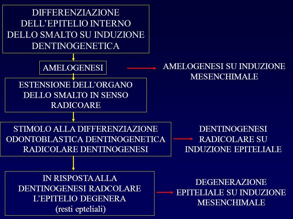 DIFFERENZIAZIONE DELLEPITELIO INTERNO DELLO SMALTO SU INDUZIONE DENTINOGENETICA AMELOGENESI ESTENSIONE DELLORGANO DELLO SMALTO IN SENSO RADICOARE STIM
