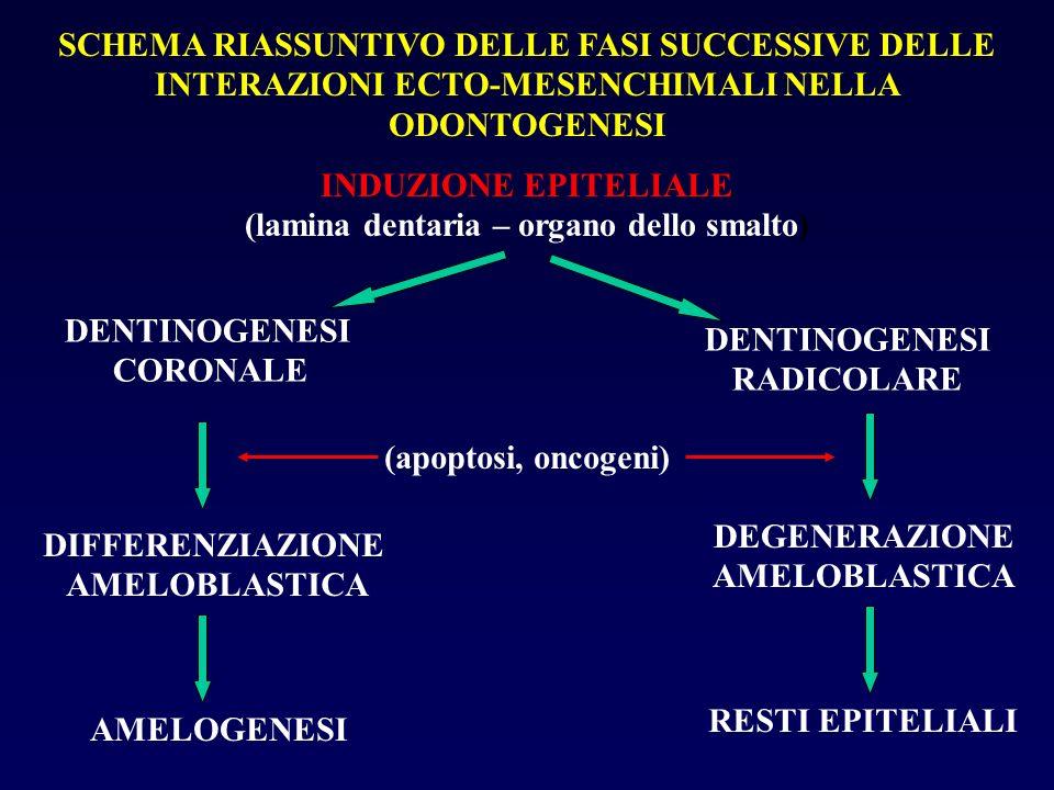 SCHEMA RIASSUNTIVO DELLE FASI SUCCESSIVE DELLE INTERAZIONI ECTO-MESENCHIMALI NELLA ODONTOGENESI INDUZIONE EPITELIALE (lamina dentaria – organo dello s