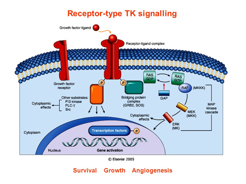 Receptor-type TK signalling Survival Growth Angiogenesis