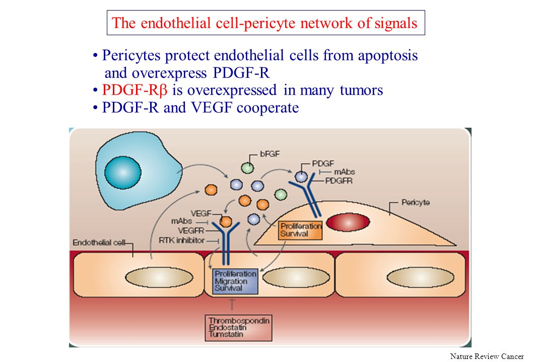 The endothelial cell-pericyte network of signals Nature Review Cancer Pericytes protect endothelial cells from apoptosis and overexpress PDGF-R PDGF-R