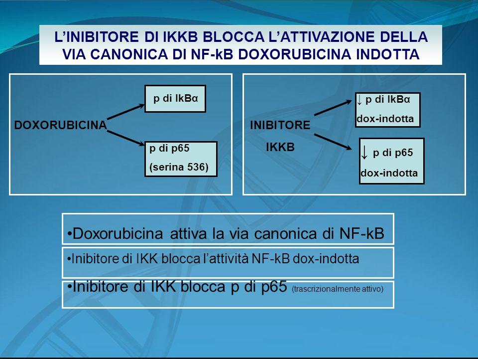 LINIBITORE DI IKKB BLOCCA LATTIVAZIONE DELLA VIA CANONICA DI NF-kB DOXORUBICINA INDOTTA DOXORUBICINA p di IkBα p di p65 (serina 536) INIBITORE IKKB p