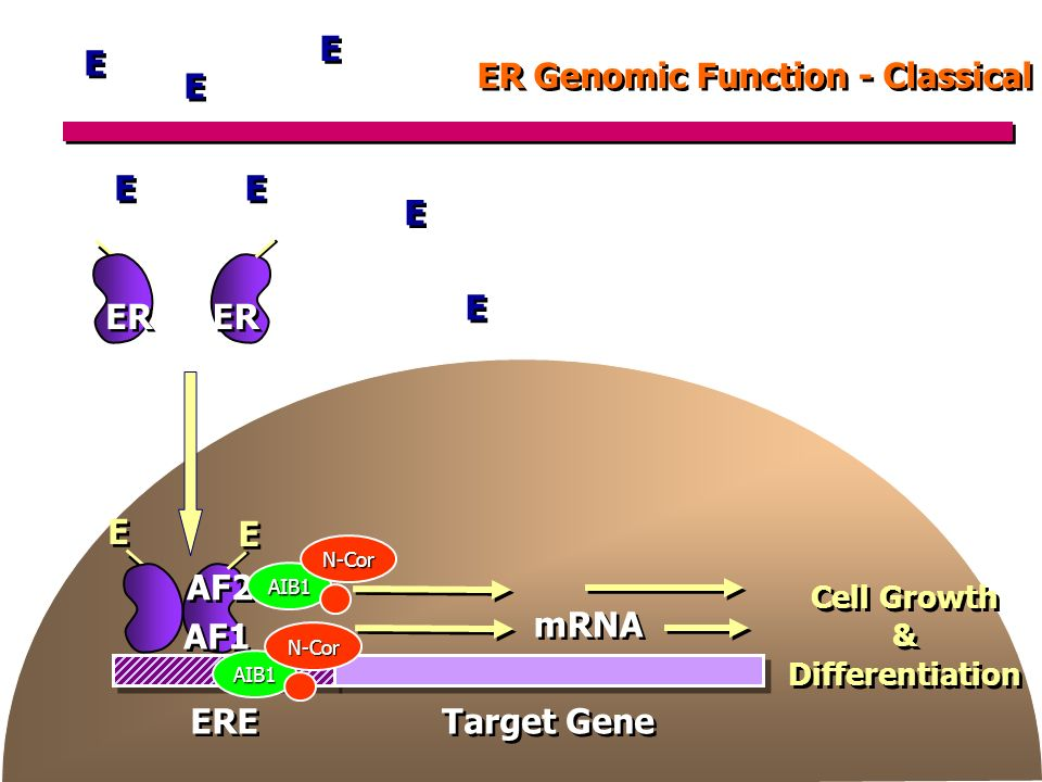 ER Genomic Function - Classical Cell Growth & Differentiation Cell Growth & Differentiation mRNA Target Gene ERE E E E E ER AF1 AF2 AIB1 E E E E E E E