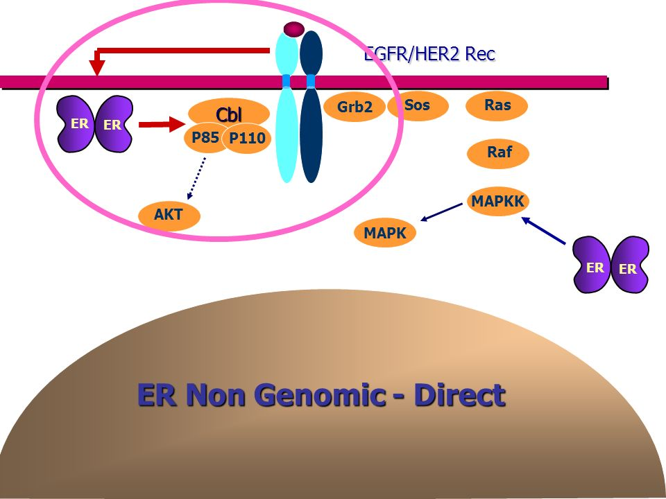 ER Non Genomic - Direct AKT Grb2 SosRas Raf MAPKK MAPK Cbl P85 P110 EGFR/HER2 Rec ER