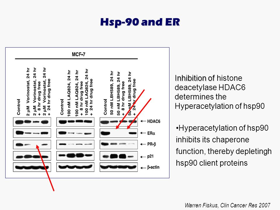 Hyperacetylation of hsp90 inhibits its chaperone function, thereby depletingh hsp90 client proteins Hsp-90 and ER Warren Fiskus, Clin Cancer Res 2007