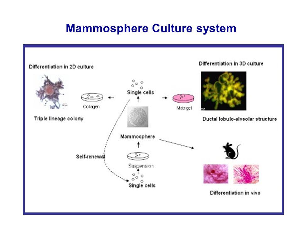 Mammosphere Culture system Dontu et al, Gen &Dev, 2003