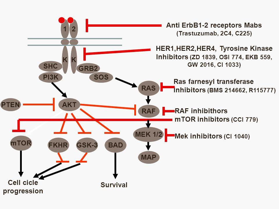 12 KK SHC PI3K GRB2 SOS AKT RAS PTEN mTOR FKHRGSK-3BAD Cell cicle progression Survival RAF MEK 1/2 MAP Anti ErbB1-2 receptors Mabs (Trastuzumab, 2C4,