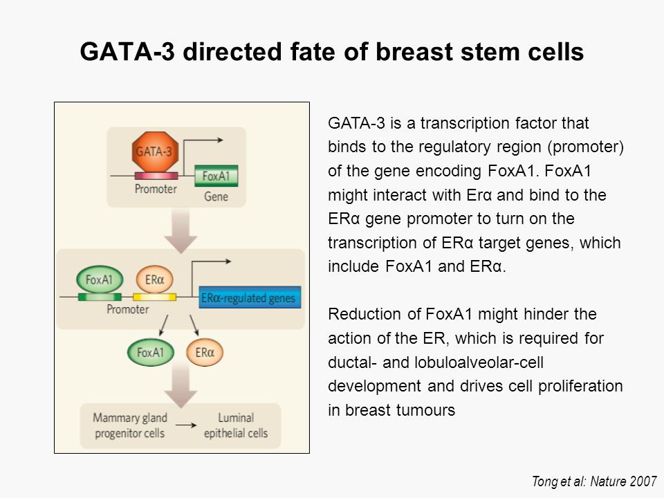 BRCA-1 and ER The only known enzymatic activity associated with BRCA1 is its activity as a ubiquitin protein ligase Attachment of ubiquitin to substrates is a versatile method of regulation involved in practically all aspects of cell biology.