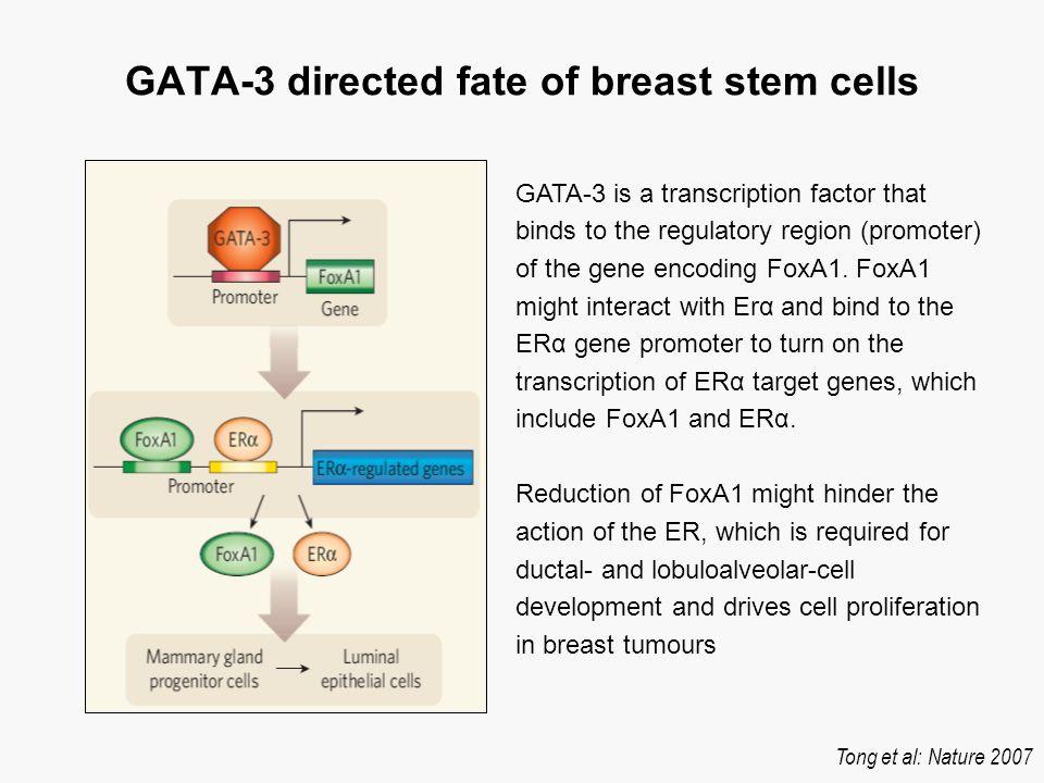 GATA-3 influence in breast development Impaired development in MMTV–cre;Gata- 3f/f mammary glands Asselin-Labat, Nature Cell Biol 2006