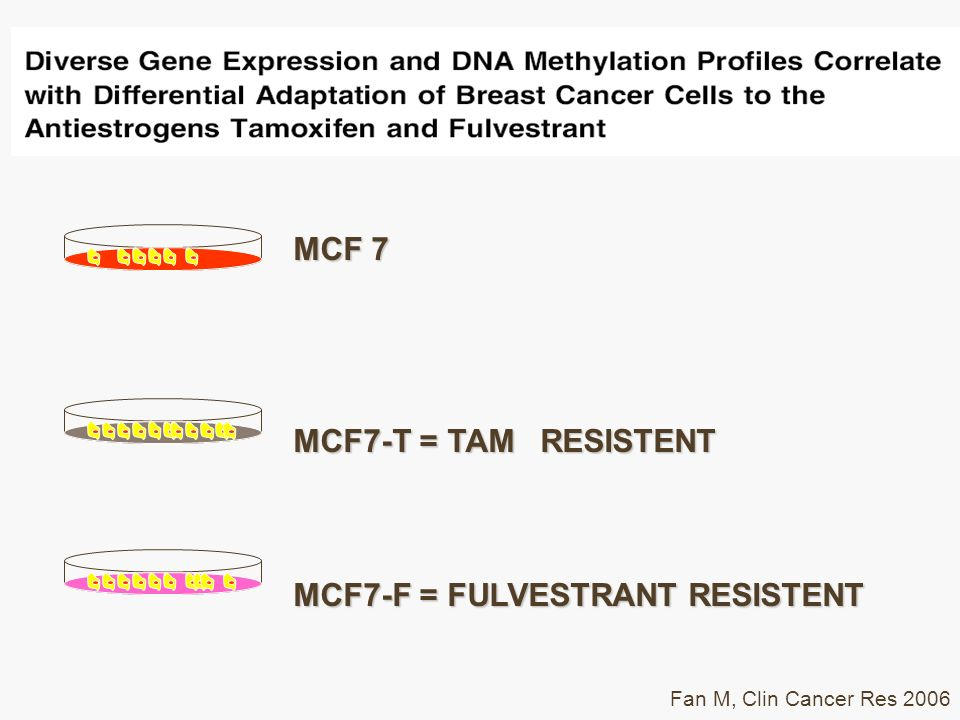 MCF 7 MCF7-T = TAM RESISTENT MCF7-F = FULVESTRANT RESISTENT Fan M, Clin Cancer Res 2006
