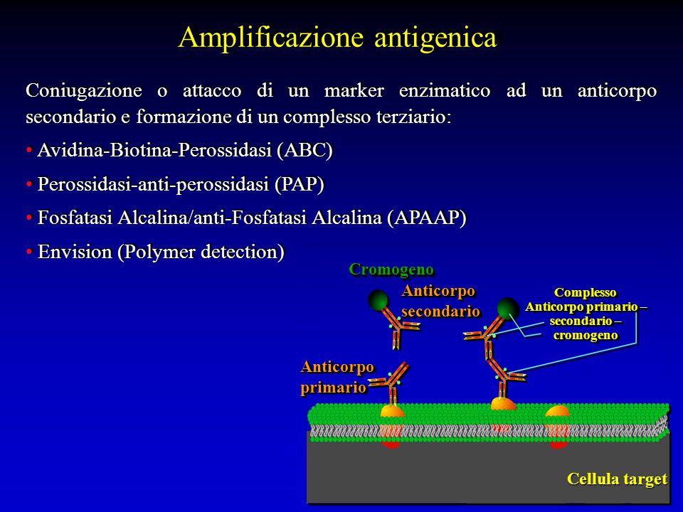 Coniugazione o attacco di un marker enzimatico ad un anticorpo secondario e formazione di un complesso terziario: Avidina-Biotina-Perossidasi (ABC) Pe