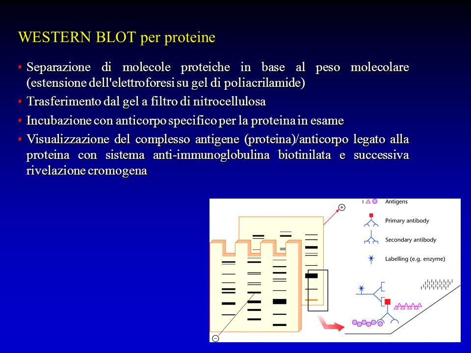 WESTERN BLOT per proteine Separazione di molecole proteiche in base al peso molecolare (estensione dell'elettroforesi su gel di poliacrilamide) Trasfe