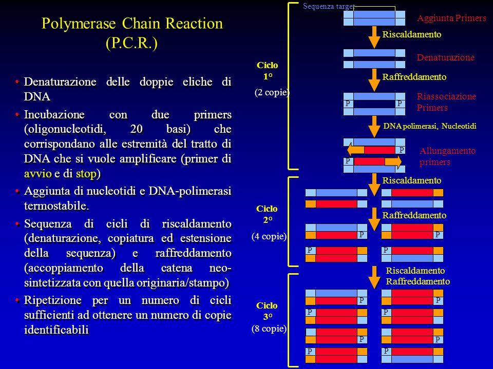 Denaturazione delle doppie eliche di DNA Incubazione con due primers (oligonucleotidi, 20 basi) che corrispondano alle estremità del tratto di DNA che