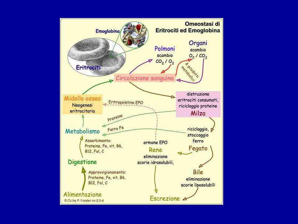 ERITROPOIESI La ridotta capacità di trasporto dellossigeno che si verifica in condizioni di ipossia, normalmente, è compensata da : 1.Risposta cardiovascolare e respiratoria ; 2.Incremento dei livelli intracellulari di 2,3 bis- fosfoglicerato nei GR con conseguente spostamento a destra della curva di dissociazione dellemoglobina ed aumento del rilascio di ossigeno ; 3.Abbassamento del PH capillare negli organi vitali, con conseguente aumento del rilascio di ossigeno ai tessuti.