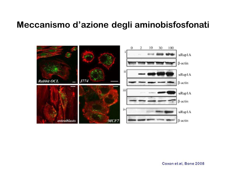 Meccanismo dazione degli aminobisfosfonati Coxon et al, Bone 2008
