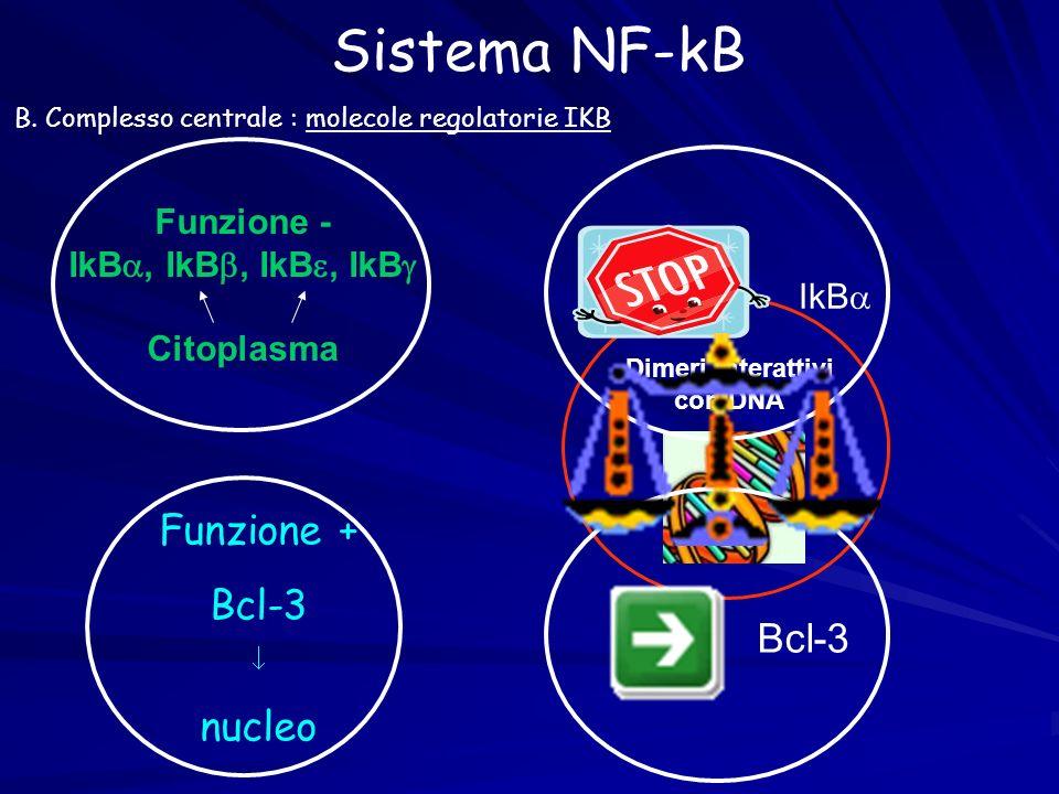 Sistema NF-kB Funzione + Bcl-3 nucleo Funzione - IkB, IkB, IkB, IkB Citoplasma Dimeri interattivi con DNA B. Complesso centrale : molecole regolatorie