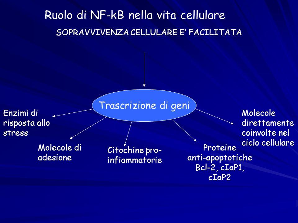 Ruolo di NF-kB nella vita cellulare SOPRAVVIVENZA CELLULARE E FACILITATA Trascrizione di geni Enzimi di risposta allo stress Molecole di adesione Cito