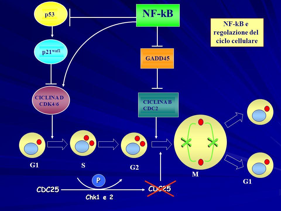 p53 p21 waf1 NF-kB GADD45 CICLINA B CDC2 CICLINA D CDK4/6 G1 G2S xx M G1 NF-kB e regolazione del ciclo cellulare Chk1 e 2 CDC25 CDC25 P