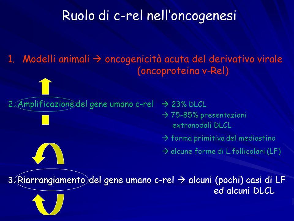 Ruolo di c-rel nelloncogenesi 1. 1.Modelli animali oncogenicità acuta del derivativo virale (oncoproteina v-Rel) 2. Amplificazione del gene umano c-re