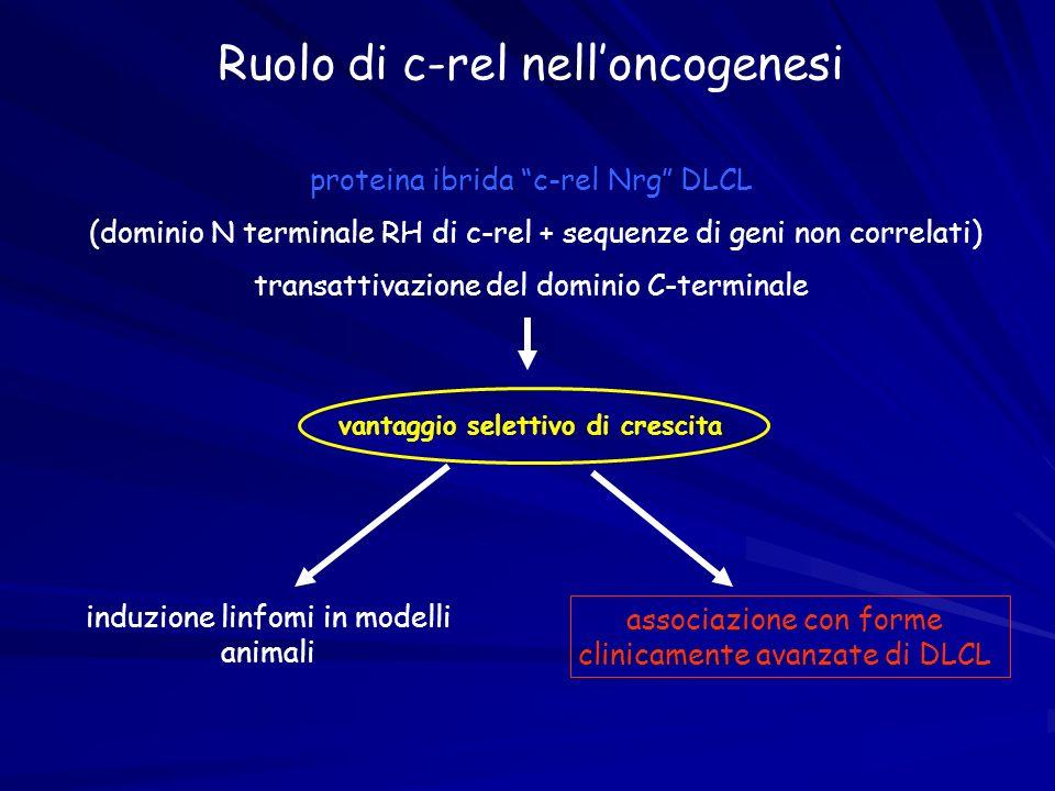 Ruolo di c-rel nelloncogenesi proteina ibrida c-rel Nrg DLCL (dominio N terminale RH di c-rel + sequenze di geni non correlati) transattivazione del d