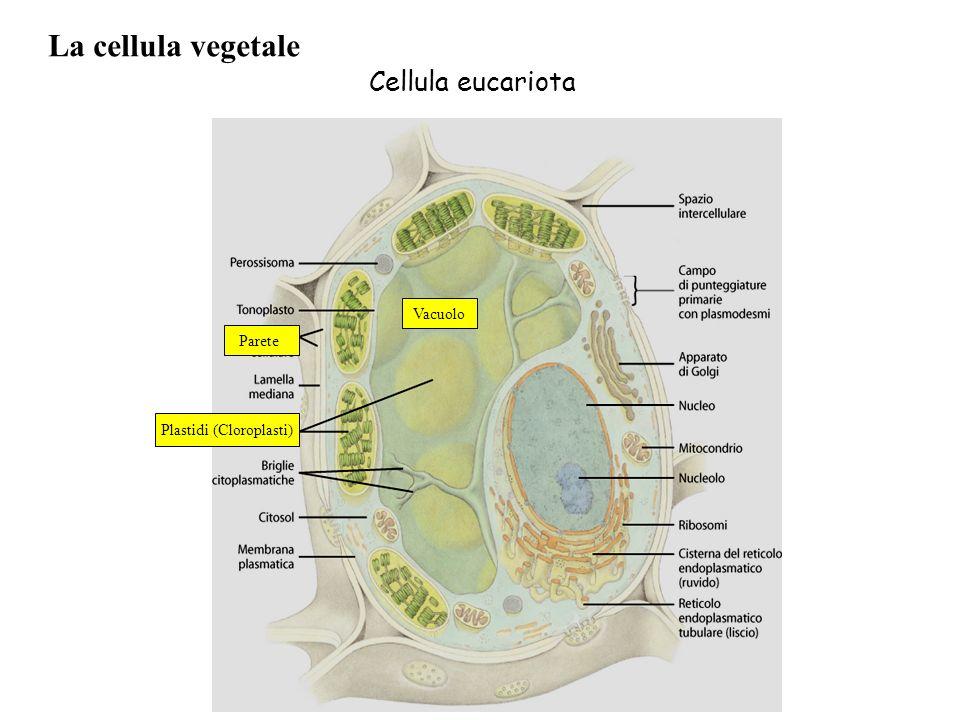 La cellula vegetale Plastidi (Cloroplasti) Parete Vacuolo Cellula eucariota