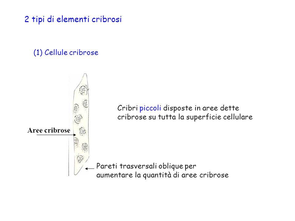 2 tipi di elementi cribrosi (1) Cellule cribrose Aree cribrose Cribri piccoli disposte in aree dette cribrose su tutta la superficie cellulare Pareti