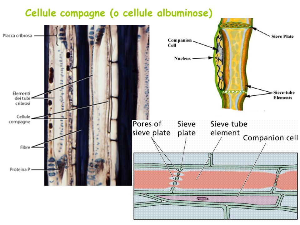 Cellule compagne (o cellule albuminose)