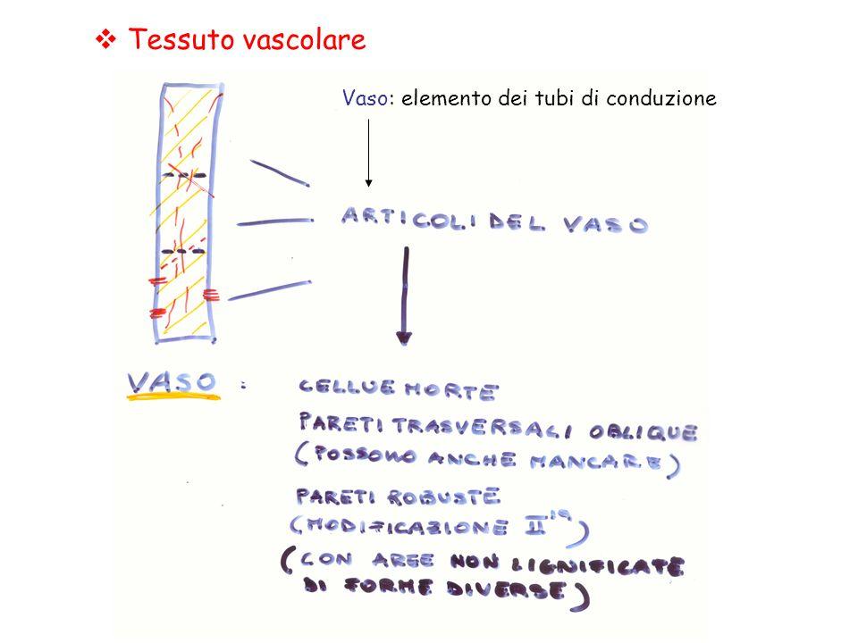 Tessuto vascolare Vaso: elemento dei tubi di conduzione