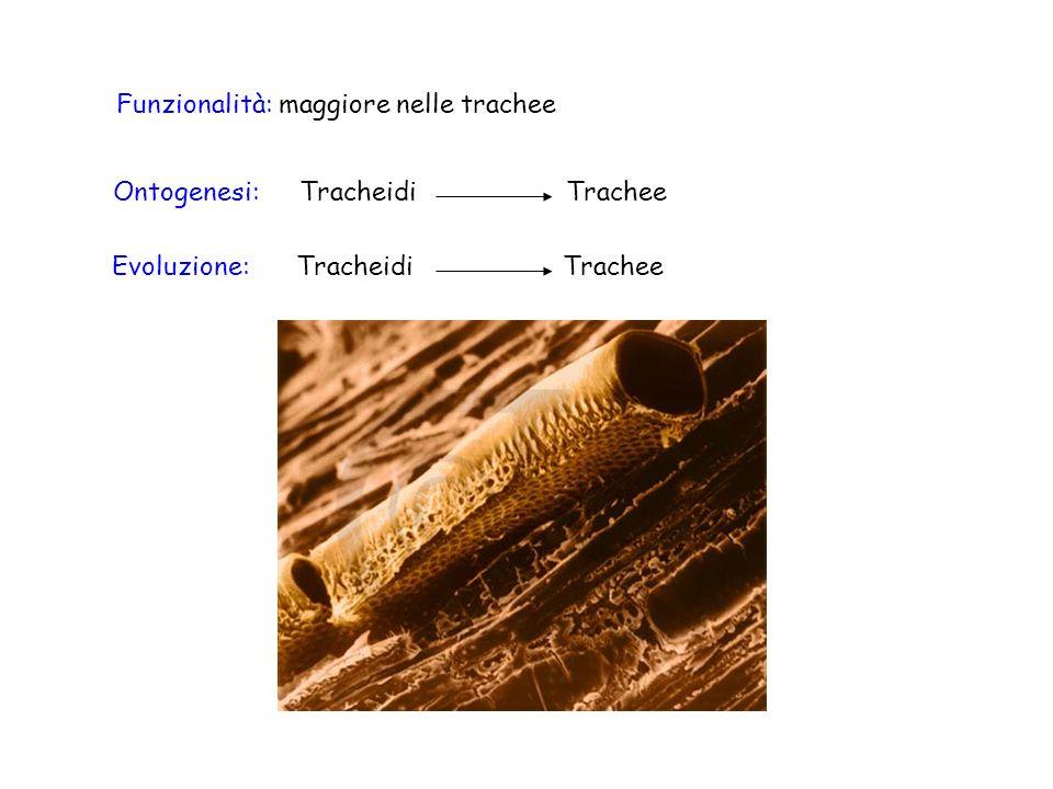 Funzionalità: maggiore nelle trachee Evoluzione:Tracheidi Trachee Ontogenesi:Tracheidi Trachee