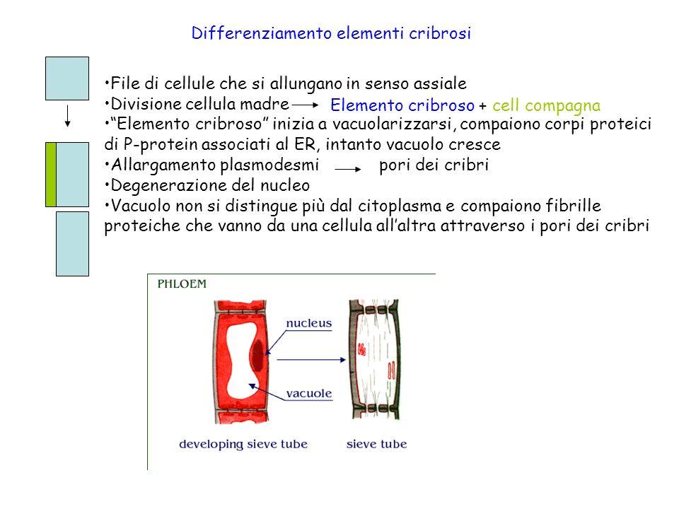 Differenziamento elementi cribrosi File di cellule che si allungano in senso assiale Divisione cellula madre Elemento cribroso inizia a vacuolarizzars