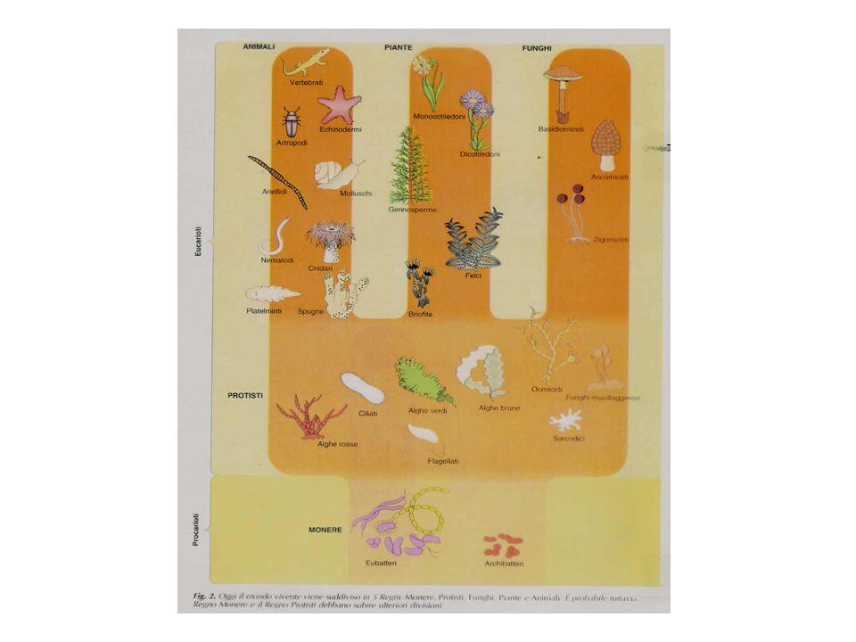 Importanti nel ciclo dellAzoto: N2N2 NH + 4 nitrogenasi eterocicsti Filamento di Anabaena acinete Nitrogenasi: sensibile allO 2 Parete ispessita da glicolipidi Assenza fotosistema II Connessione alle cellule adiacenti tramite plasmodesmi Specie che fissano N 2 conducono vita libera o sono simbionti EX: Trichodesmium vive libero negli oceani in zone tropicali Anabaena azollae Risaie fertilizzate da Anabaena azollae