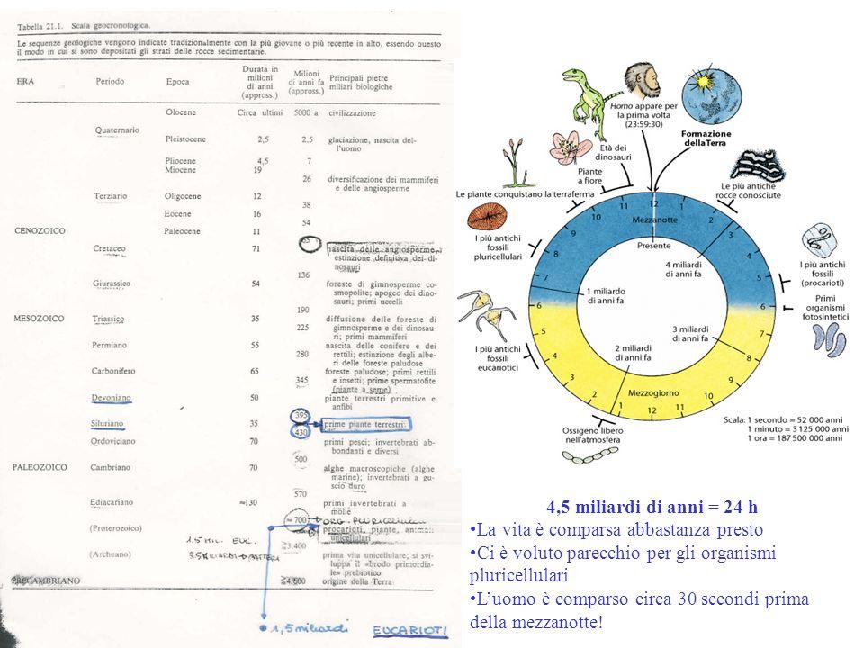 4,5 miliardi di anni = 24 h La vita è comparsa abbastanza presto Ci è voluto parecchio per gli organismi pluricellulari Luomo è comparso circa 30 seco