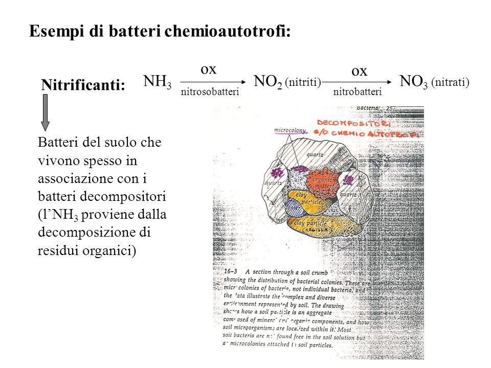 Esempi di batteri chemioautotrofi: Nitrificanti: NH 3 ox NO 2 (nitriti) ox NO 3 (nitrati) nitrosobatterinitrobatteri Batteri del suolo che vivono spes