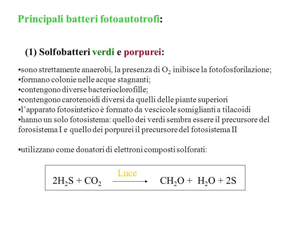 (2) Batteri porpurei non solfurei: Si trovano negli acquitrini come i solfobatteri Sono anaerobi facoltativi Sono sia autotrofi che eterotrofi utilizzano come donatori di elettroni composti organici quali alcoli, acidi grassi, chetoacidi): Hp: i progenitori di questi batteri sono diventati endosimbionti di cellule eucariote e si sono evoluti come mitocondri Halobacterium halobium (alofili estremi =>Archaea): sintesi di ATP mediata dalla luce e dalla bacteriorodopsina (meccanismo che non coinvolge la clorofilla): Membrana plasmatica Luce H+H+ H+H+ H+H+ H+H+ Placche di rodopsina ATPasi ATP