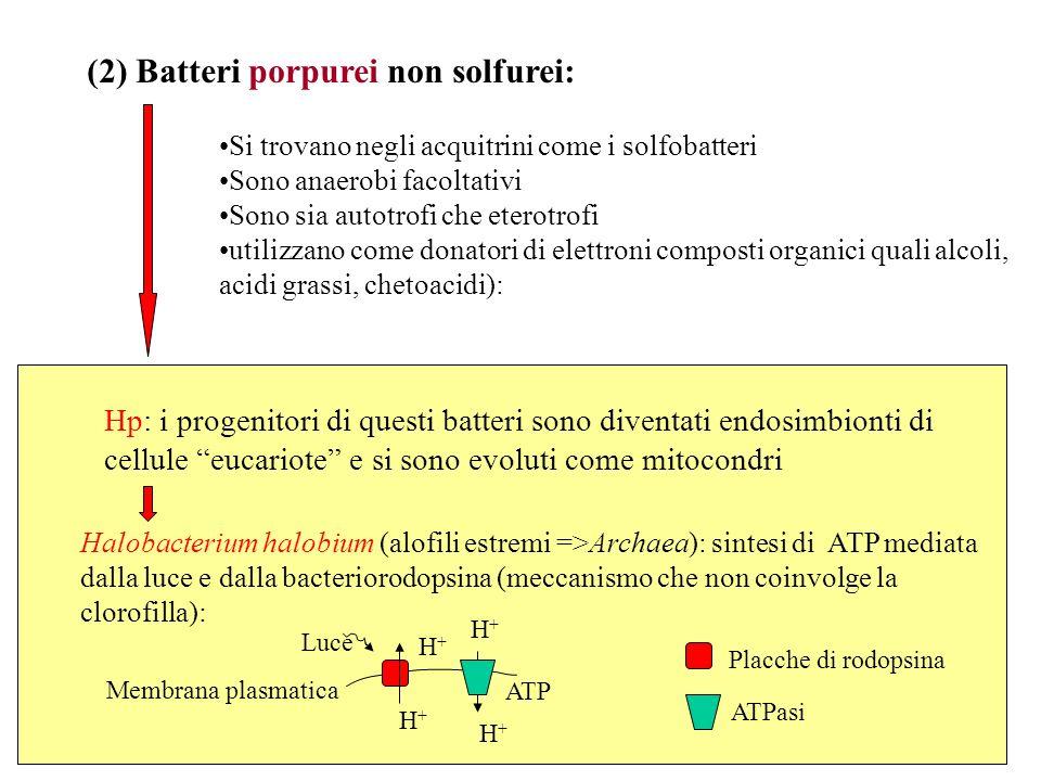 (2) Batteri porpurei non solfurei: Si trovano negli acquitrini come i solfobatteri Sono anaerobi facoltativi Sono sia autotrofi che eterotrofi utilizz