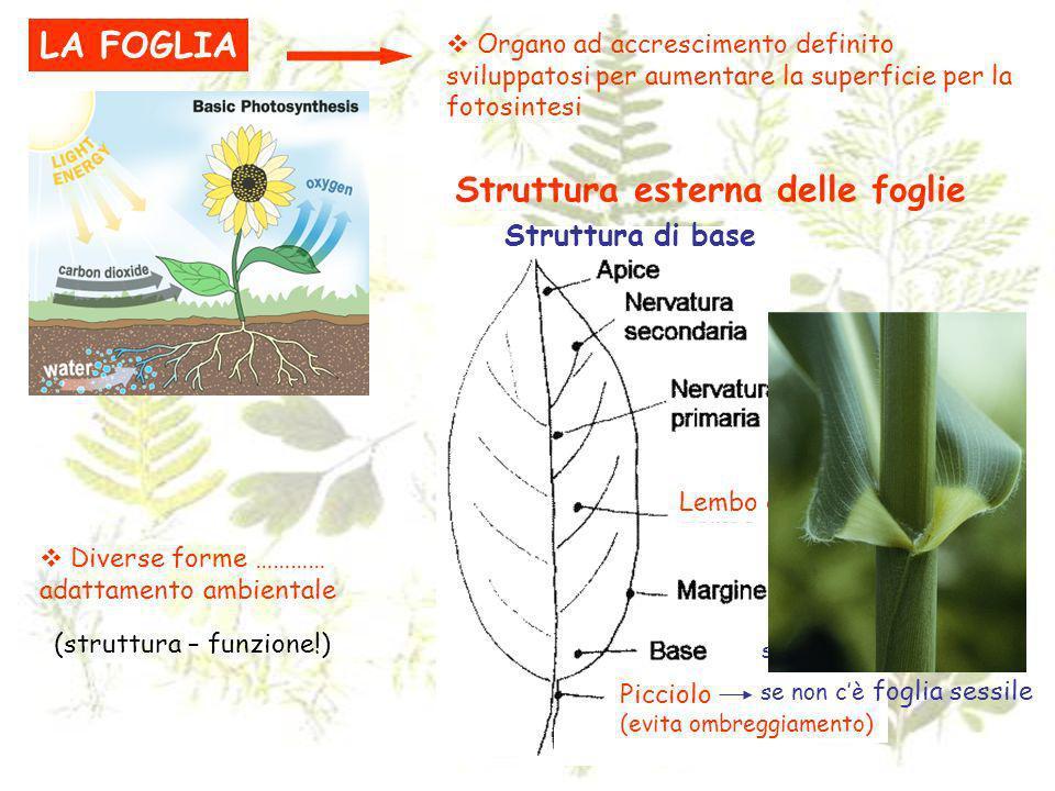 LA FOGLIA Organo ad accrescimento definito sviluppatosi per aumentare la superficie per la fotosintesi Diverse forme ………… adattamento ambientale Strut