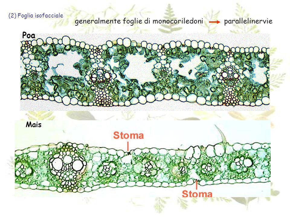 Poa (2) Foglia isofacciale generalmente foglie di monocoriledoni parallelinervie Mais