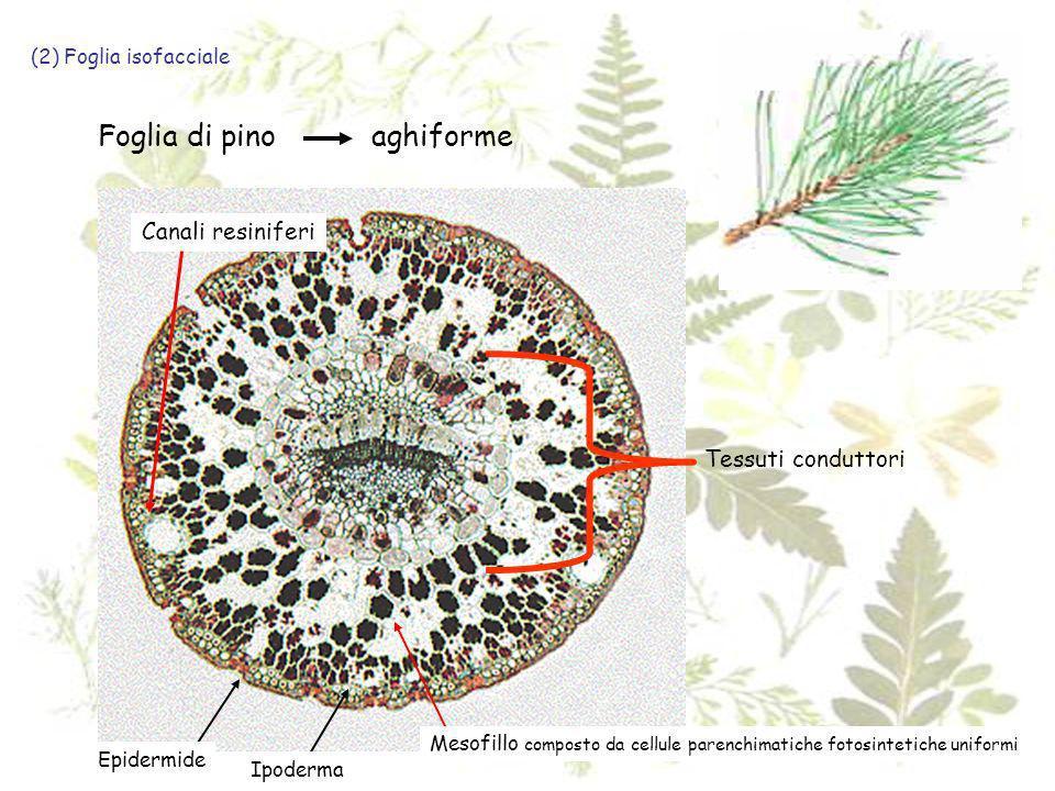 (2) Foglia isofacciale Foglia di pinoaghiforme Epidermide Ipoderma Mesofillo composto da cellule parenchimatiche fotosintetiche uniformi Canali resini