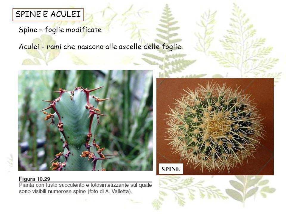 SPINE E ACULEI Spine = foglie modificate Aculei = rami che nascono alle ascelle delle foglie. SPINE