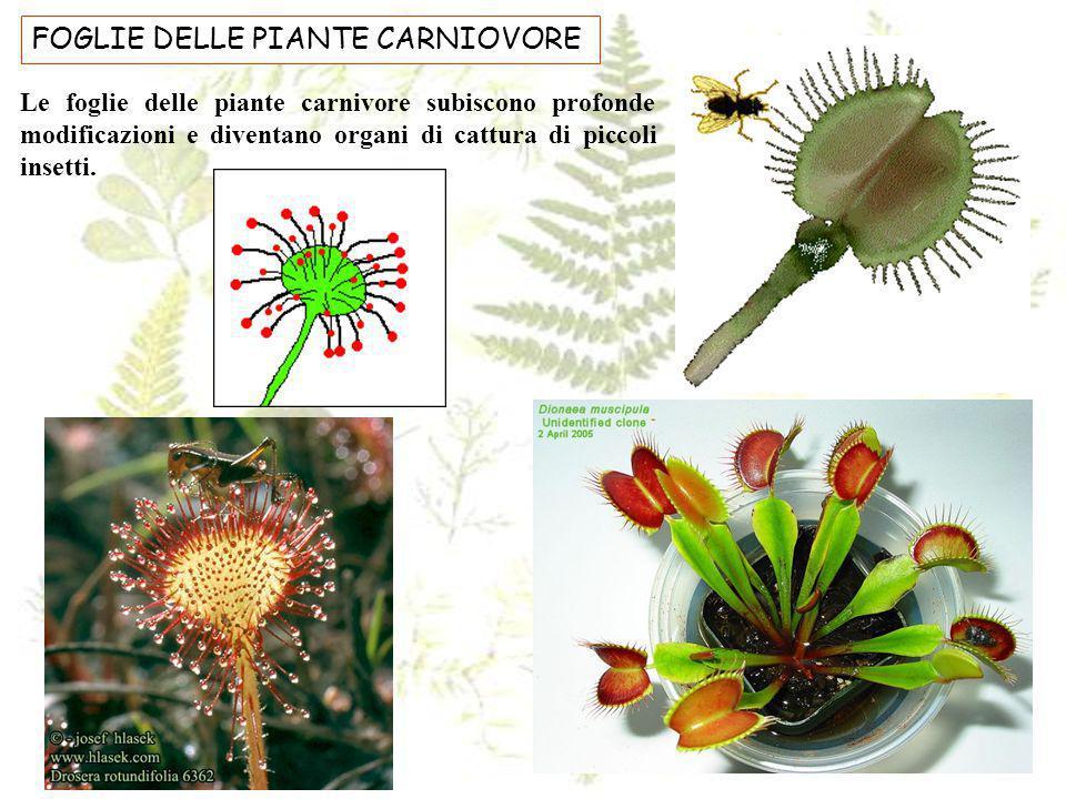 FOGLIE DELLE PIANTE CARNIOVORE Le foglie delle piante carnivore subiscono profonde modificazioni e diventano organi di cattura di piccoli insetti.