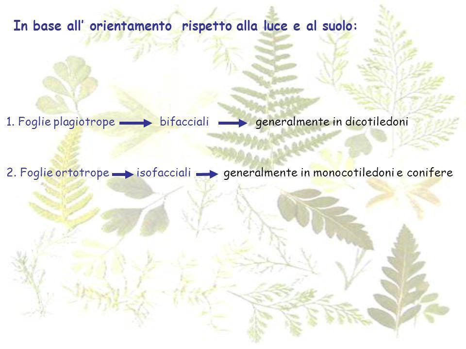 In base all orientamento rispetto alla luce e al suolo: 1. Foglie plagiotrope bifacciali 2. Foglie ortotrope isofacciali generalmente in dicotiledoni