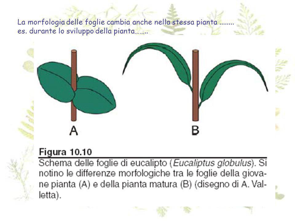 La morfologia delle foglie cambia anche nella stessa pianta........ es. durante lo sviluppo della pianta……..