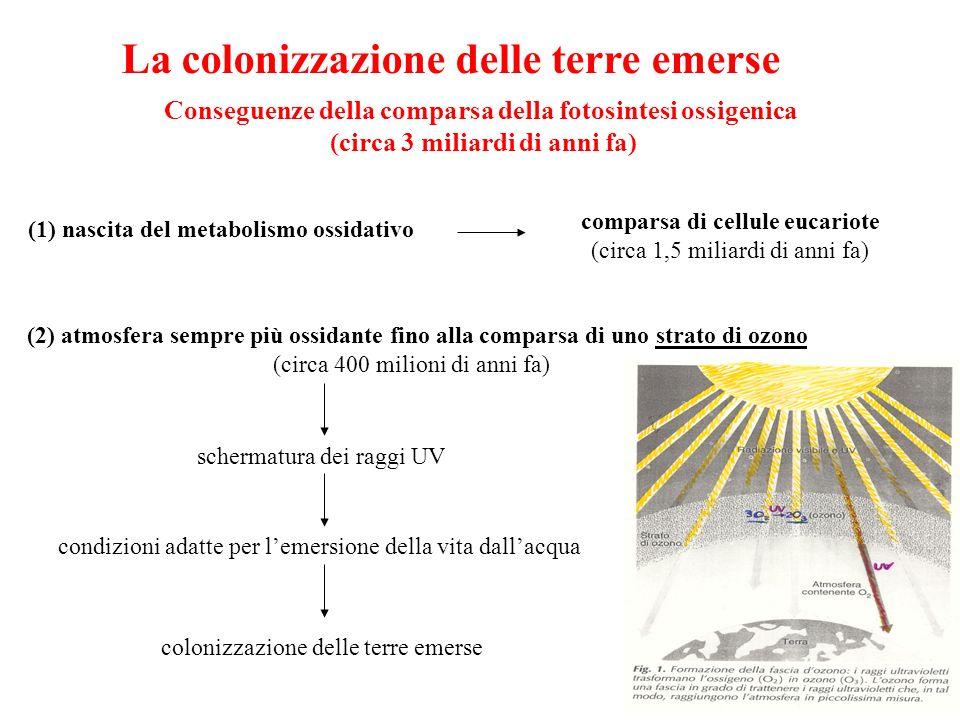 La colonizzazione delle terre emerse Conseguenze della comparsa della fotosintesi ossigenica (circa 3 miliardi di anni fa) (1) nascita del metabolismo