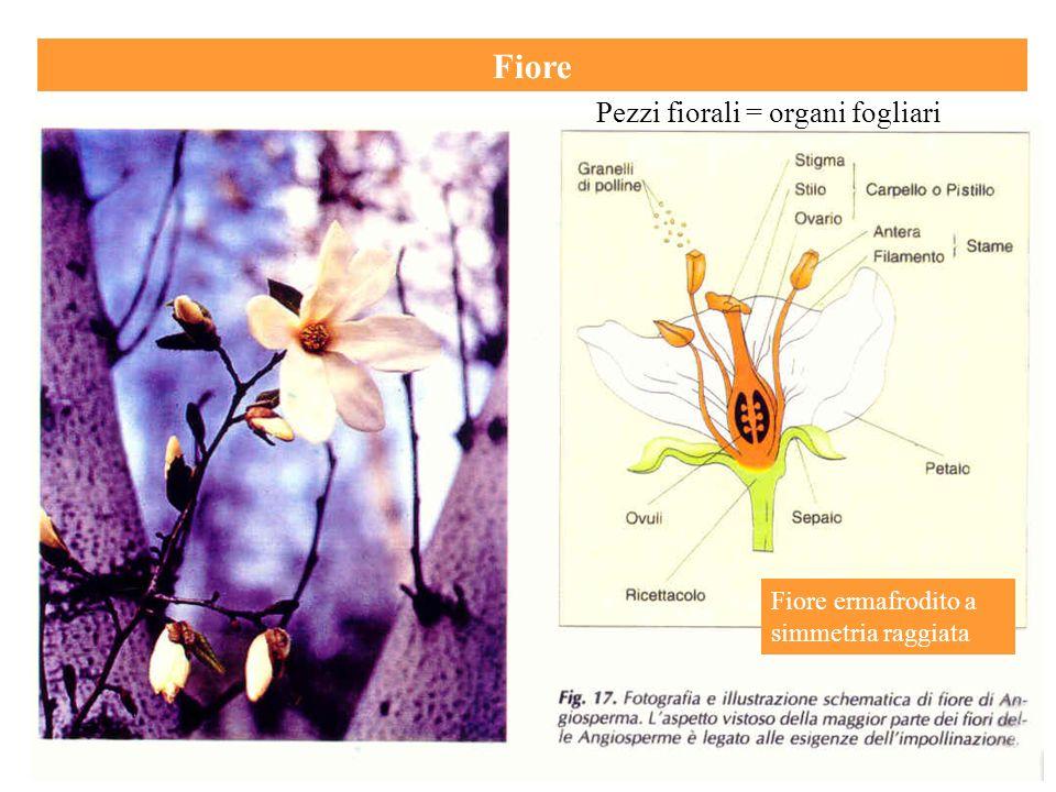 Fiore Pezzi fiorali = organi fogliari Fiore ermafrodito a simmetria raggiata