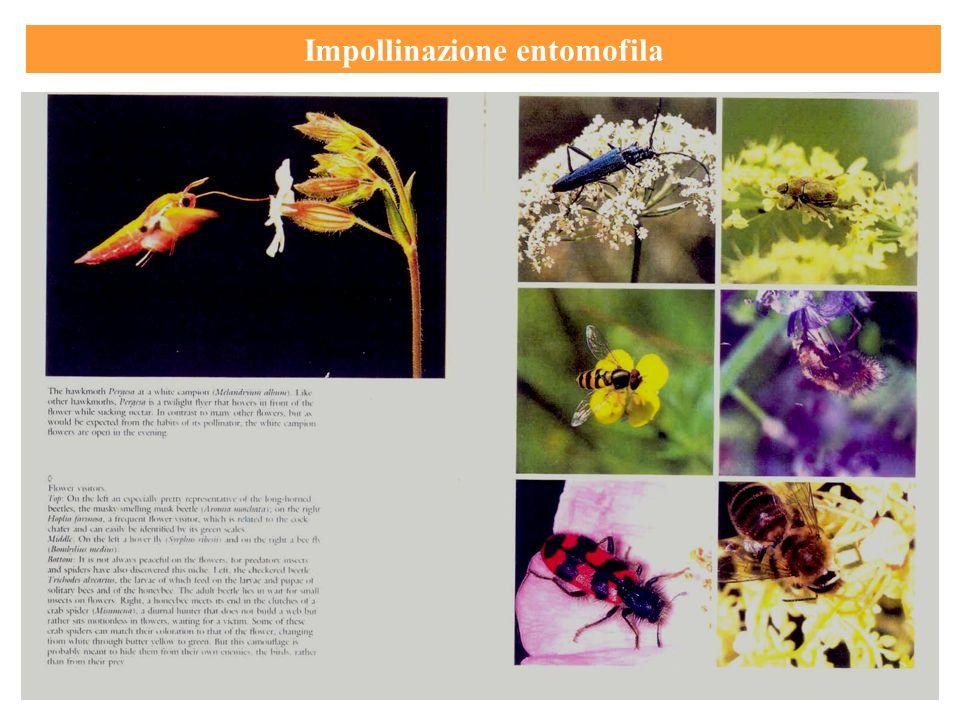 Impollinazione entomofila